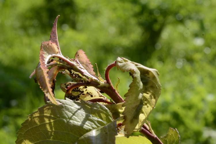 Ameisen kirschbaum am und blattläuse Wie Ameisen